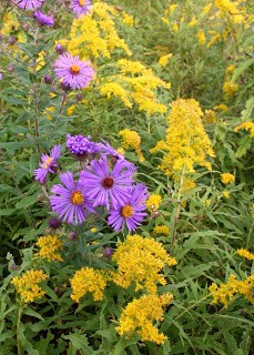 purple aster and goldenrod in the wild