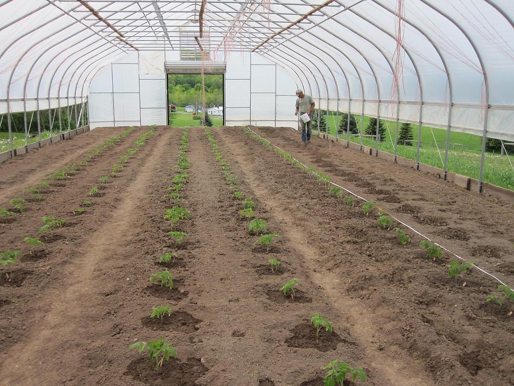 greenhouse tomato plants