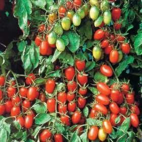 Juliet cherry tomatoes
