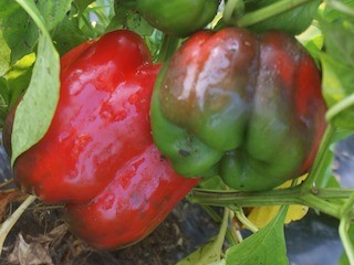 ripe bell peppers