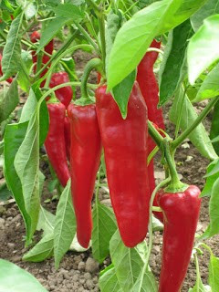 Carmen sweet pepper