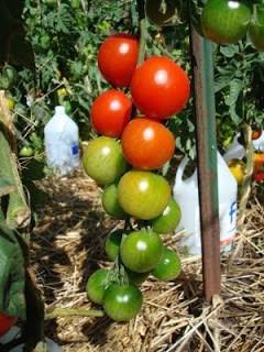 Sweet Chelsea cherry tomatoes