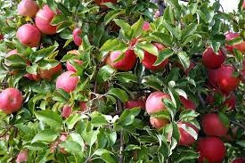 U Pick apples