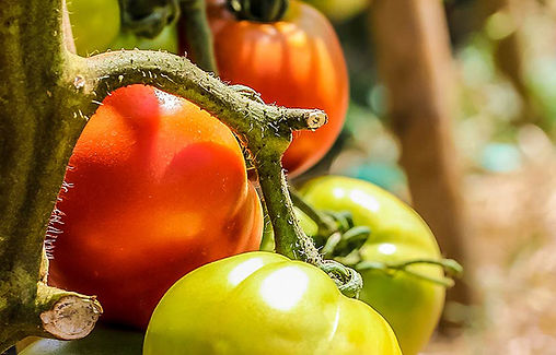 tomatoes_650px.jpg