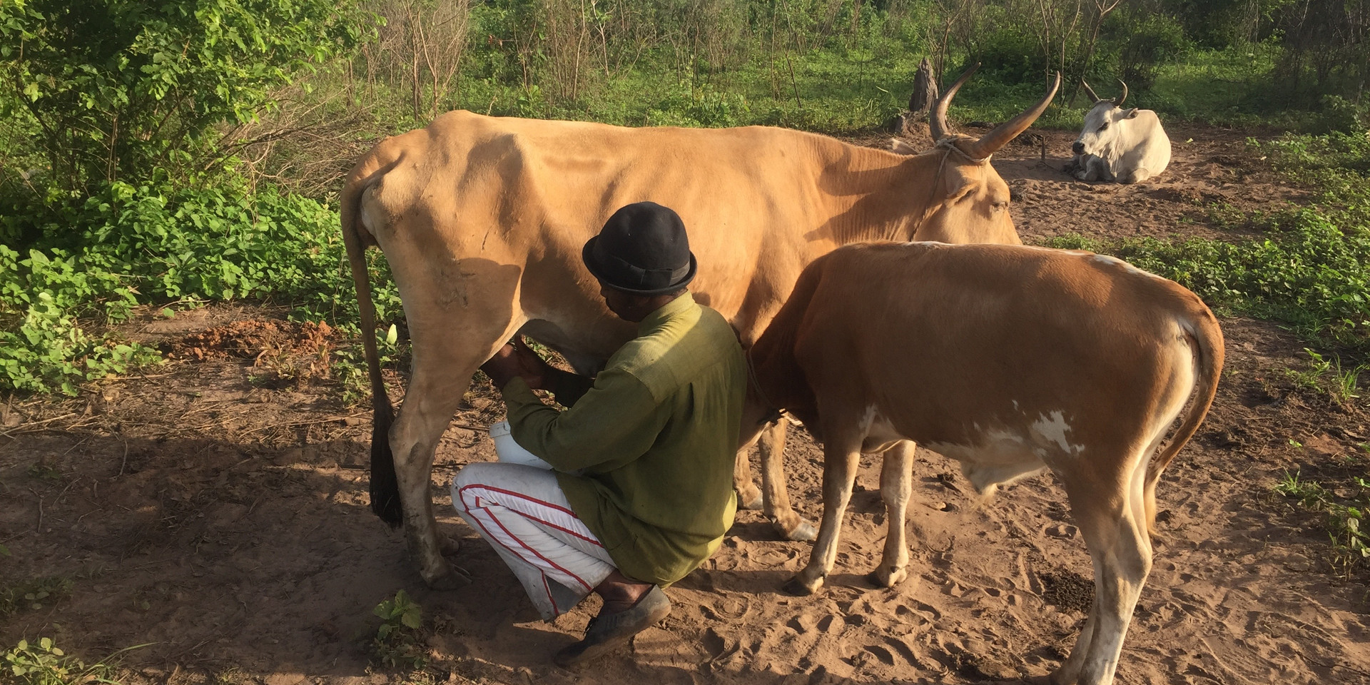Herdsman milking cow in the morning with her weaning calf nearby (The Gambia, 2016). Photo by J. Washabaugh