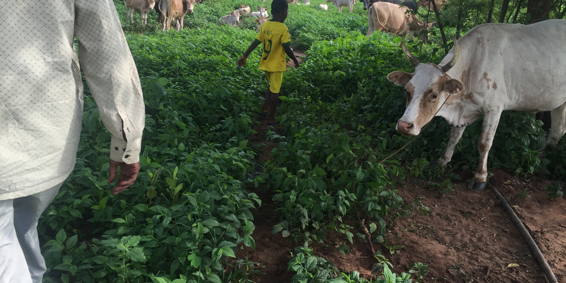 Herdsman's son playing near grazing cattle in The Gambia during the rainy season in 2016. Photo by J. Washabaugh