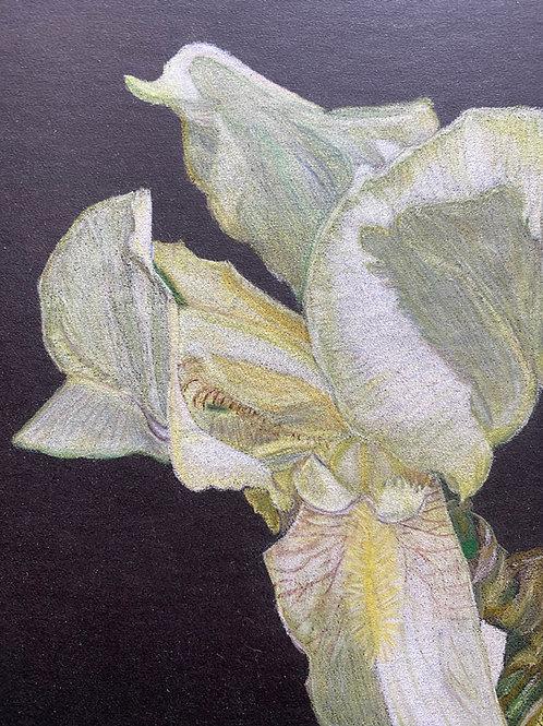 Yellow Iris - 7in x 5in Colored Pencil