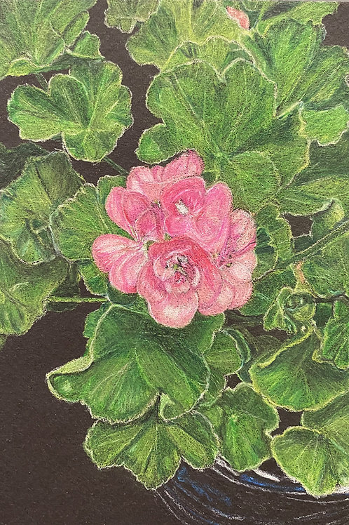 Geranium 7x5in Colored Pencil