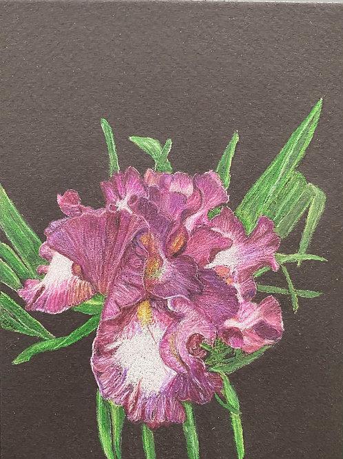 Purple Iris 7x5in Colored Pencil