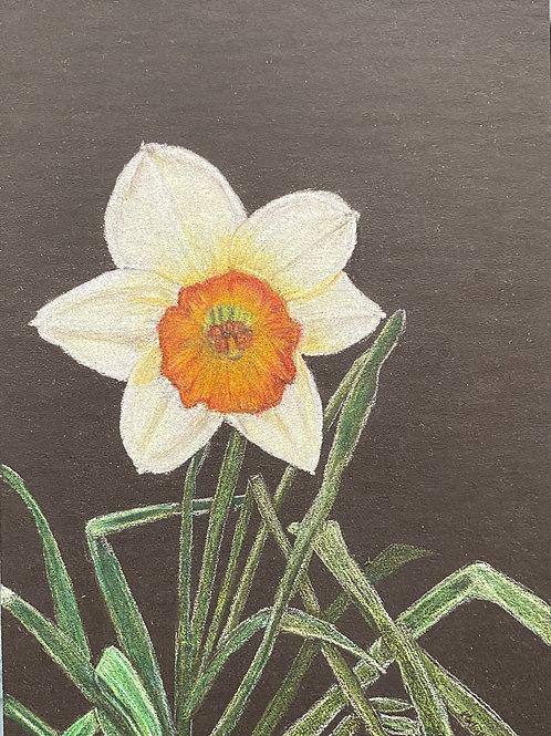 Daffodil 7x5in Colored Pencil