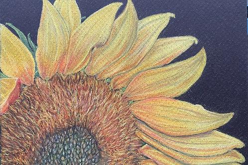 Sunflower 5x7in Colored Penci