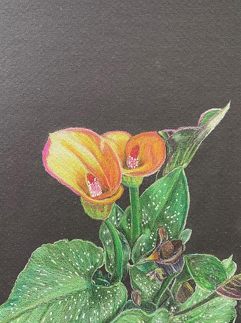 Calla Lily - 7in x 5in Colored Pencil