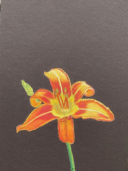 Day Lily 7x5in Colored Pencil
