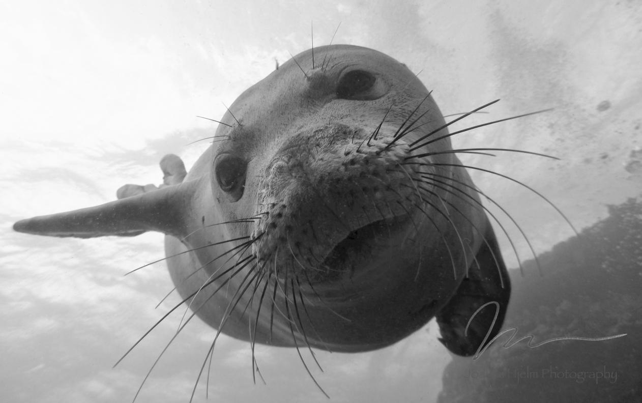 Monk Seal Face