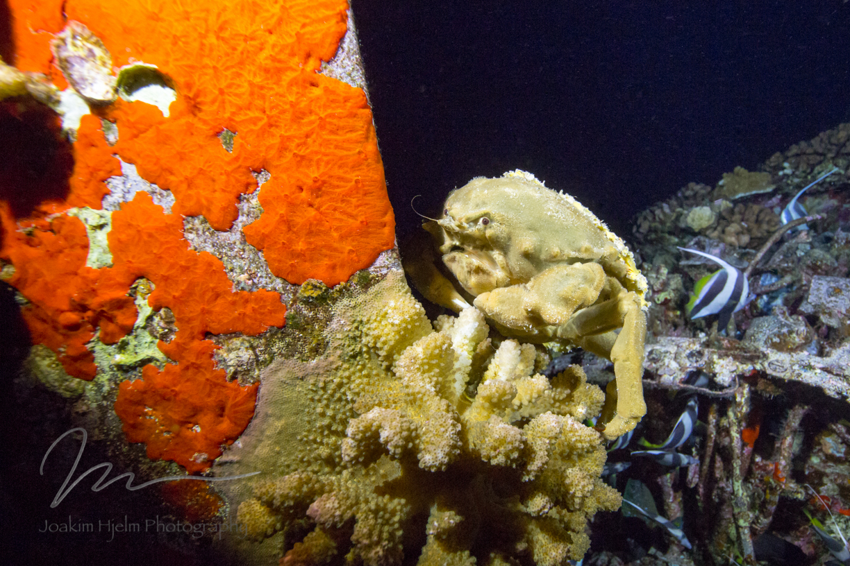 Grumpy Sponge Crab