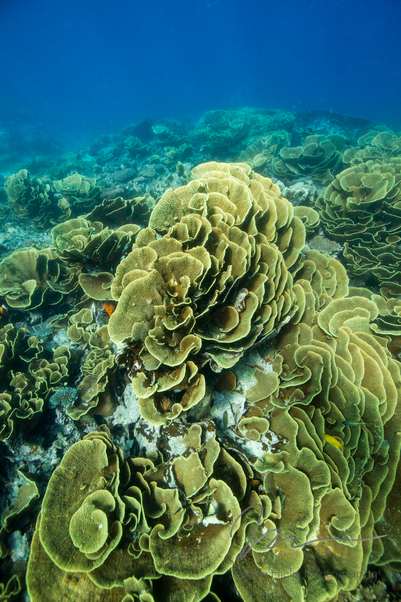 Cabbage Coral Patch