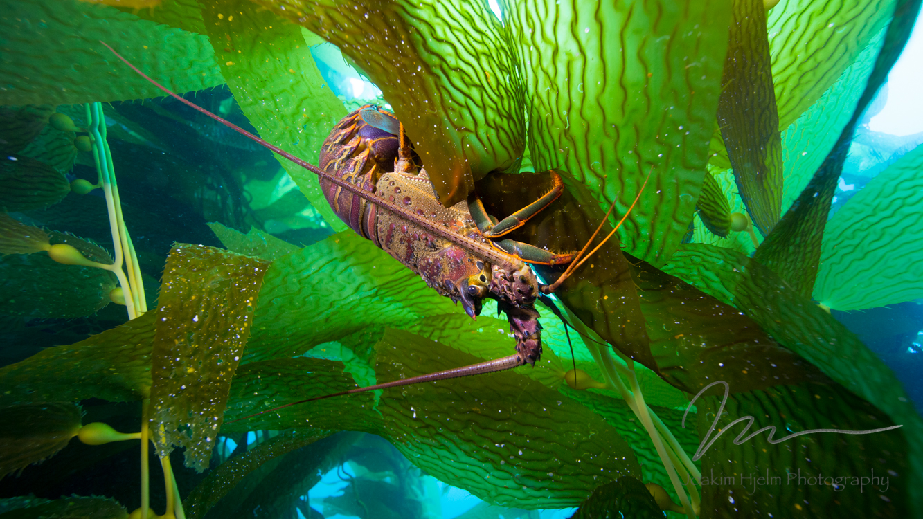 Spiny Lobster in Kelp