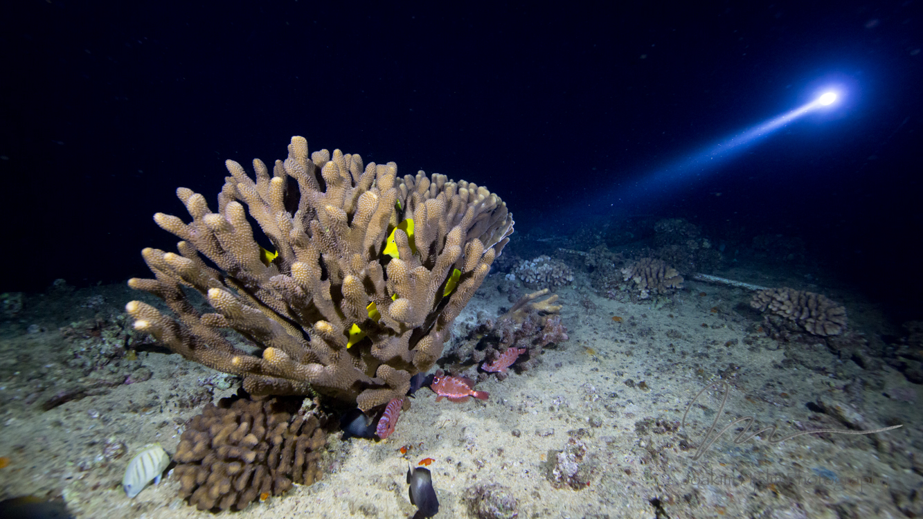 Yellow Tangs Hiding in Coral