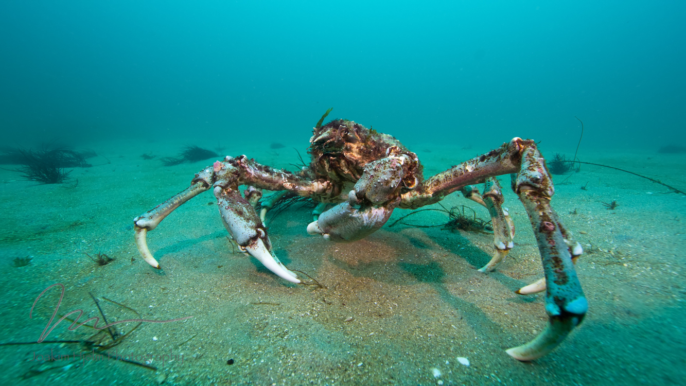 Sheepcrab on the move