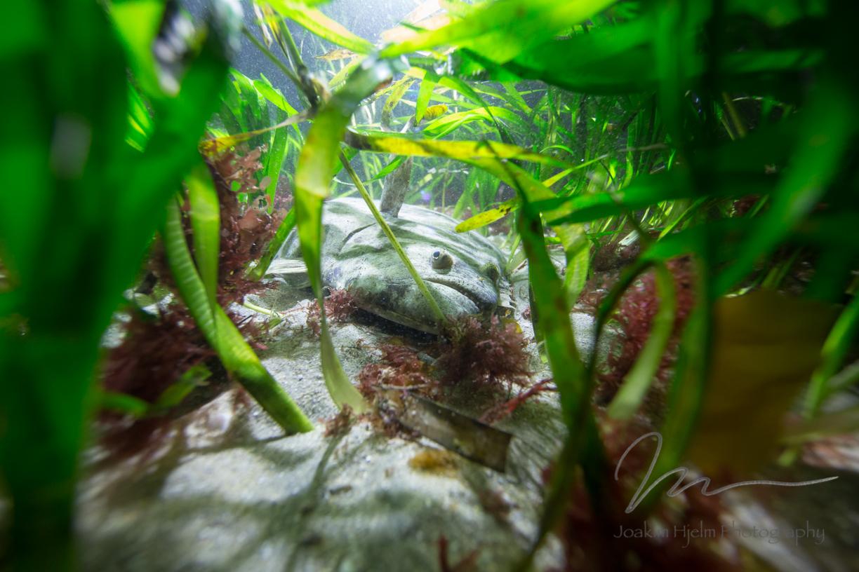 Flounder in Eelgrass