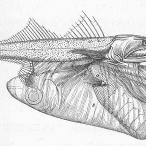 Weekly Wildlife: Black Swallower (Chiasmodon niger)