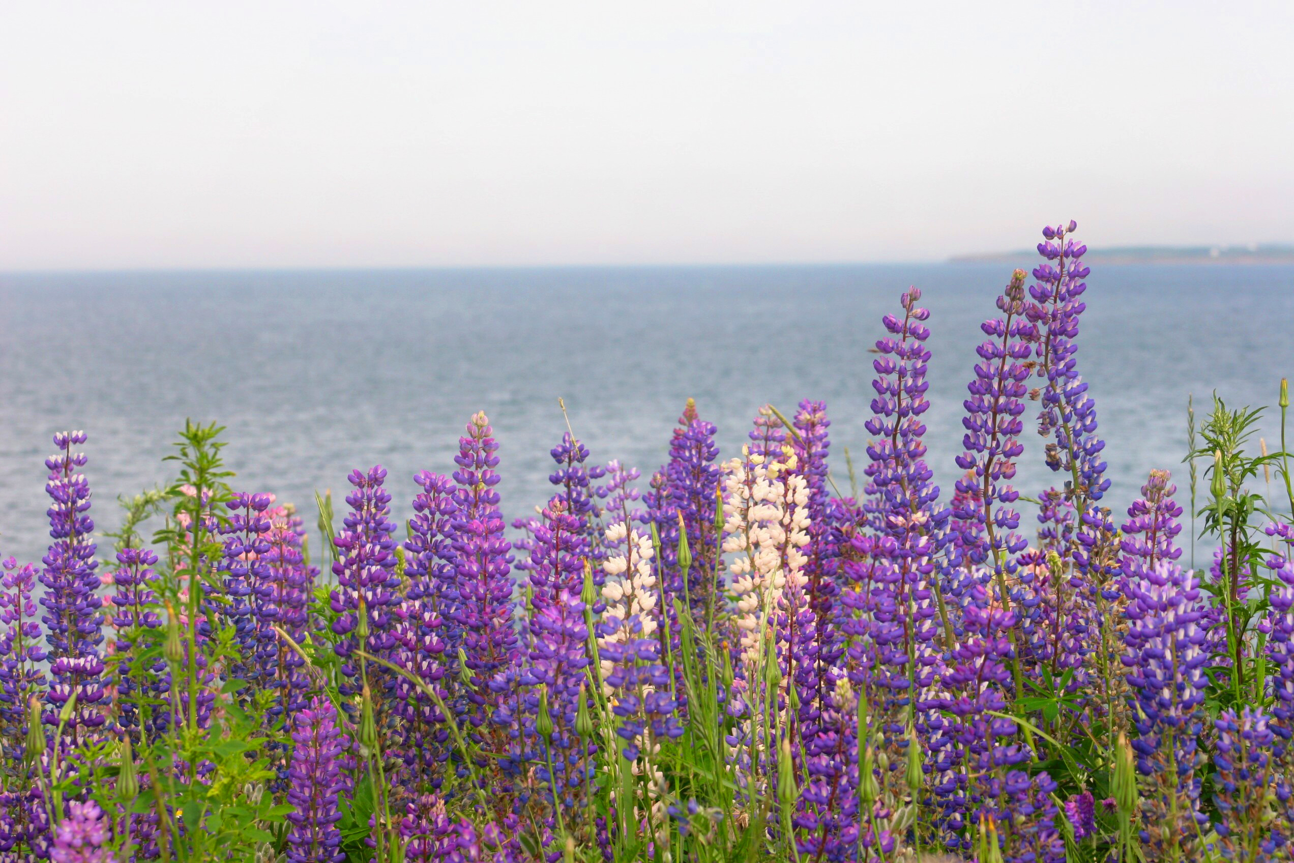Lupins Of Nova Scotia