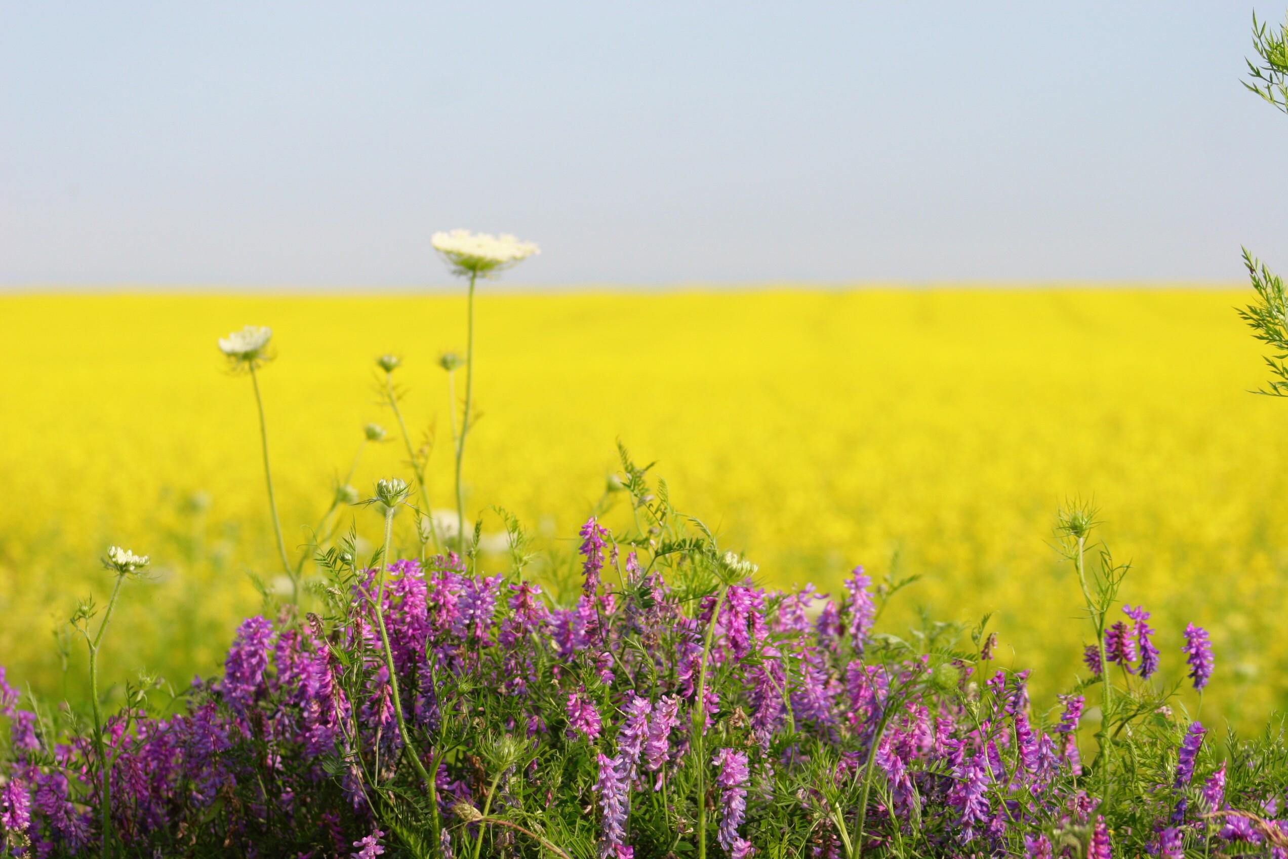 Mustard Field, PEI