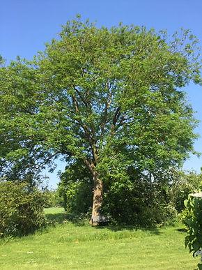 ash-tree.jpg