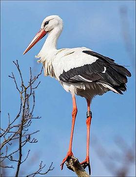 white-stork.jpg