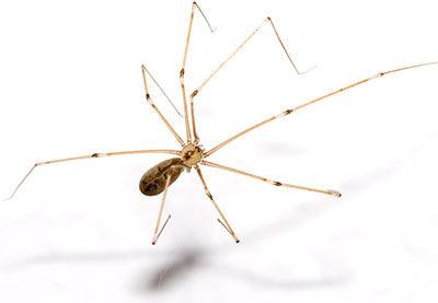 long-legs-spider.jpg