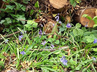 bluebell-picb.jpg