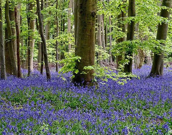 bluebell-woods.jpg
