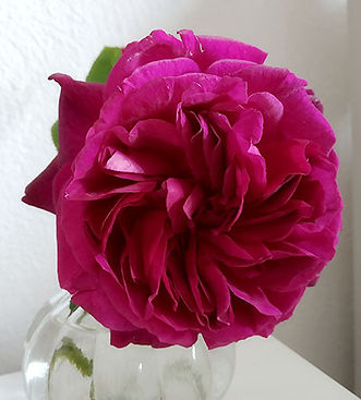 munstead-wood-rose.jpg