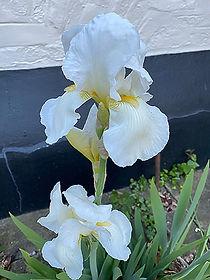 white-iris.jpg