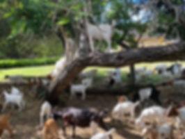 goats-in-trees.jpg