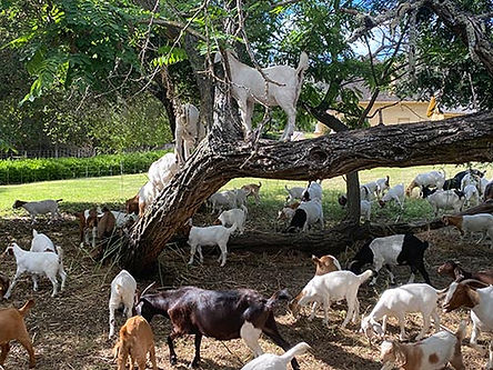 goats-in-trees.jpg
