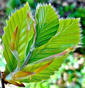 leafb.jpg