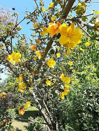 fremontodendronb.jpg