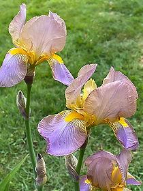 lilac-iris.jpg