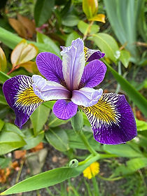 purple-iris.jpg