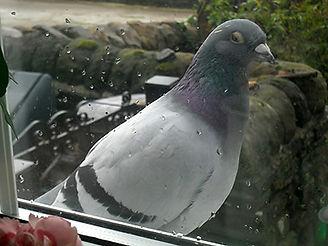pigeonb.jpg