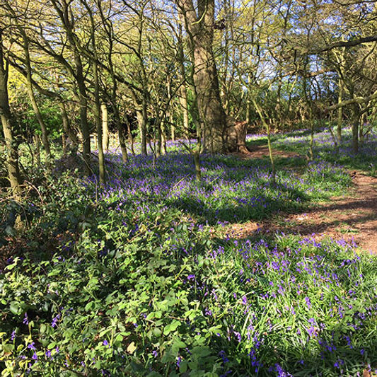 bluebell-woods.jpg