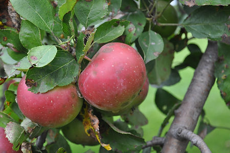 Less than perfect apples good for volunteer apple cider