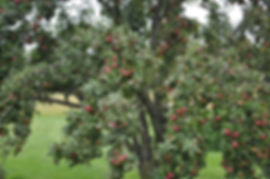example of tree not managed but loaded with apples