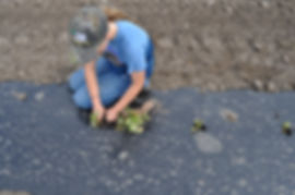 Iowa Gardening for Good transplanting into plastic mulch