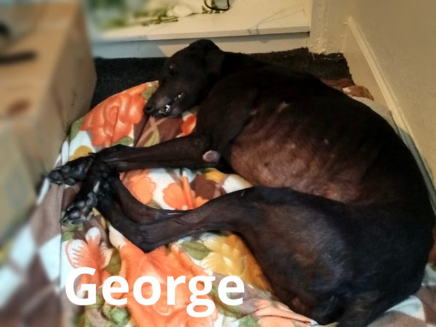 George | Homes4Hounds