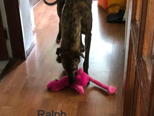 Ralph | Homes4Hounds