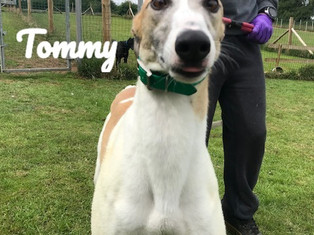 Tommy   Homes4Hounds