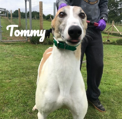 Tommy | Homes4Hounds