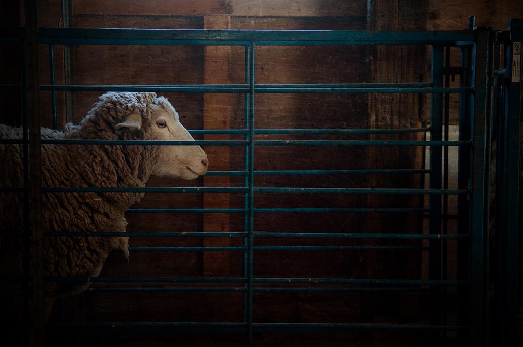 SheepShearing-242